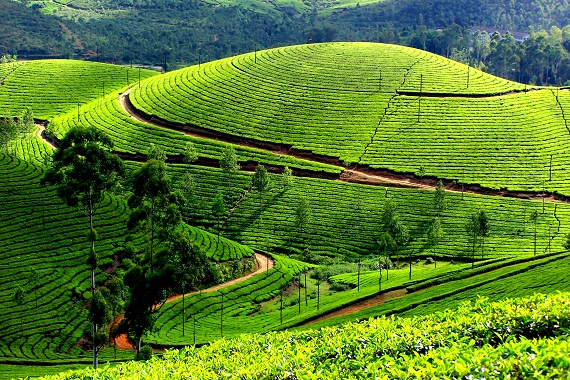Largest Tea Growing Places in India