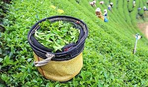 Tea Tourism in Darjeeling