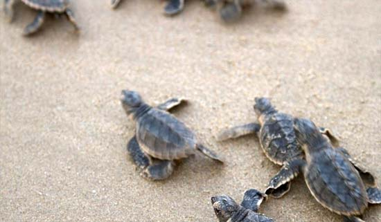 Be enchanted by the turtle settling season