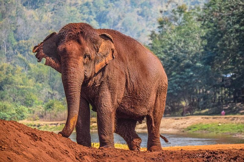 brown elephant Thailand